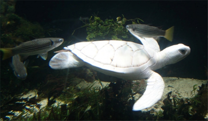 white_turtle_2_ Do the White Turtles Really Exist on Earth?
