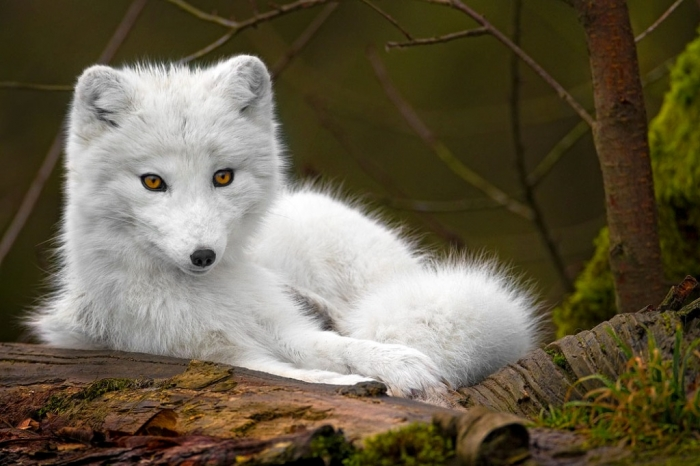 white_wolf Serious Facts You Must Know about the White Snow Wolf