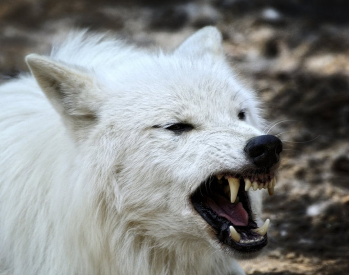 white_wolf_warrior_by_manu34-d6dvn7l Serious Facts You Must Know about the White Snow Wolf