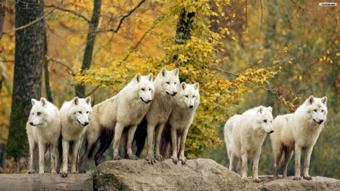 white_wolves_wallpaper_4fd1f Serious Facts You Must Know about the White Snow Wolf