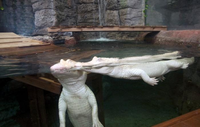 whitegators_twofullbody1 Do White Alligators Really Exist on Earth?