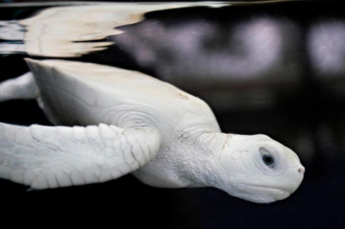 whiteseatutleJR Do the White Turtles Really Exist on Earth?