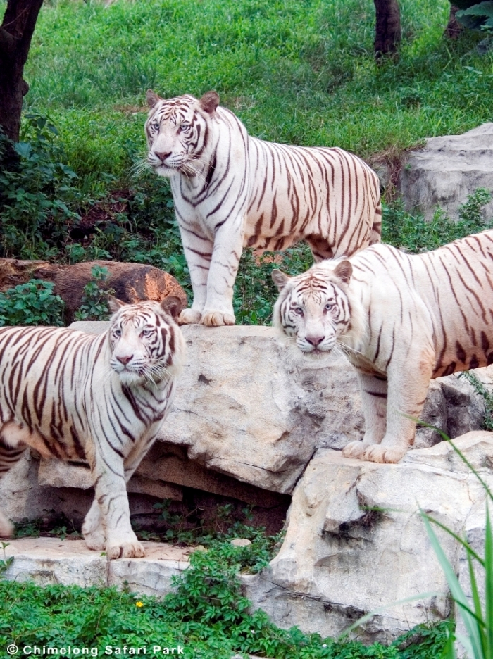 whitetigermy Why Are These Rare & Weird Tigers White?