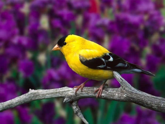 """www.sweetphotos.com-162 """" Canary"""" The Bird of Kings, Rich People & Miners"""