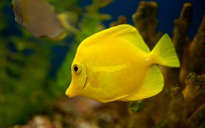 yellow-tang-fish-1920x1200 What Are the Kinds of Fish You Can Put in Your Fish Tank?