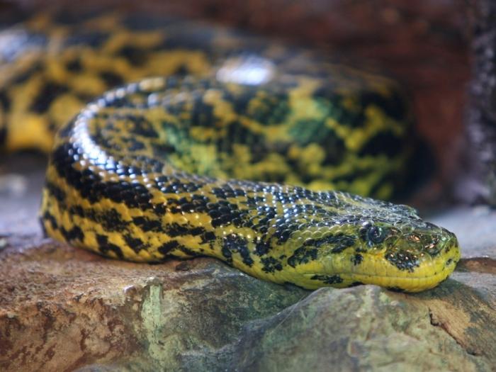 zelena_anakonda_eunectes_murinus Unbelievable Facts You Don't Know about Anaconda