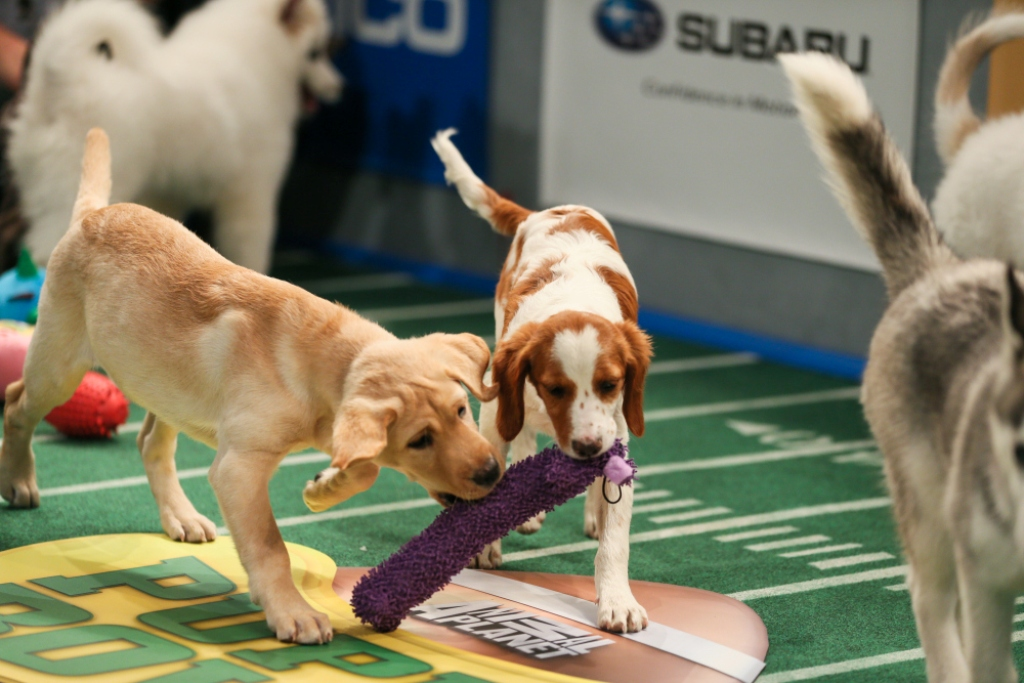 10-Facts-You-Don't-Know-about-Puppy-Bowl-5 5 Important Considerations to Make Before Buying Your Wedding Dress