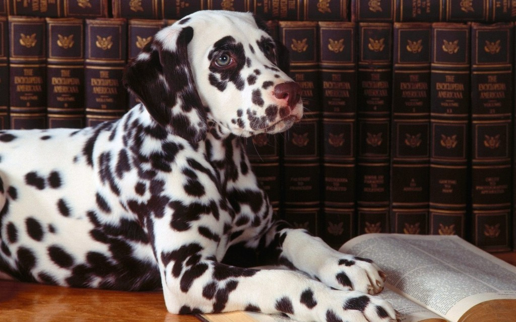 10-Uses-for-the-Dalmatian-Dog-What-Are-They-110 10 Uses for the Dalmatian Dog, What Are They?