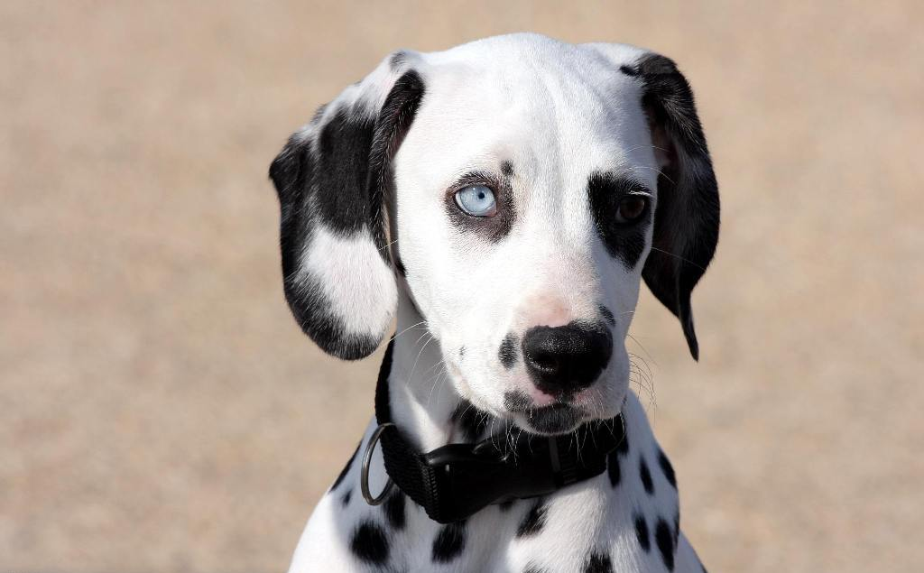 10-Uses-for-the-Dalmatian-Dog-What-Are-They-111 10 Uses for the Dalmatian Dog, What Are They?