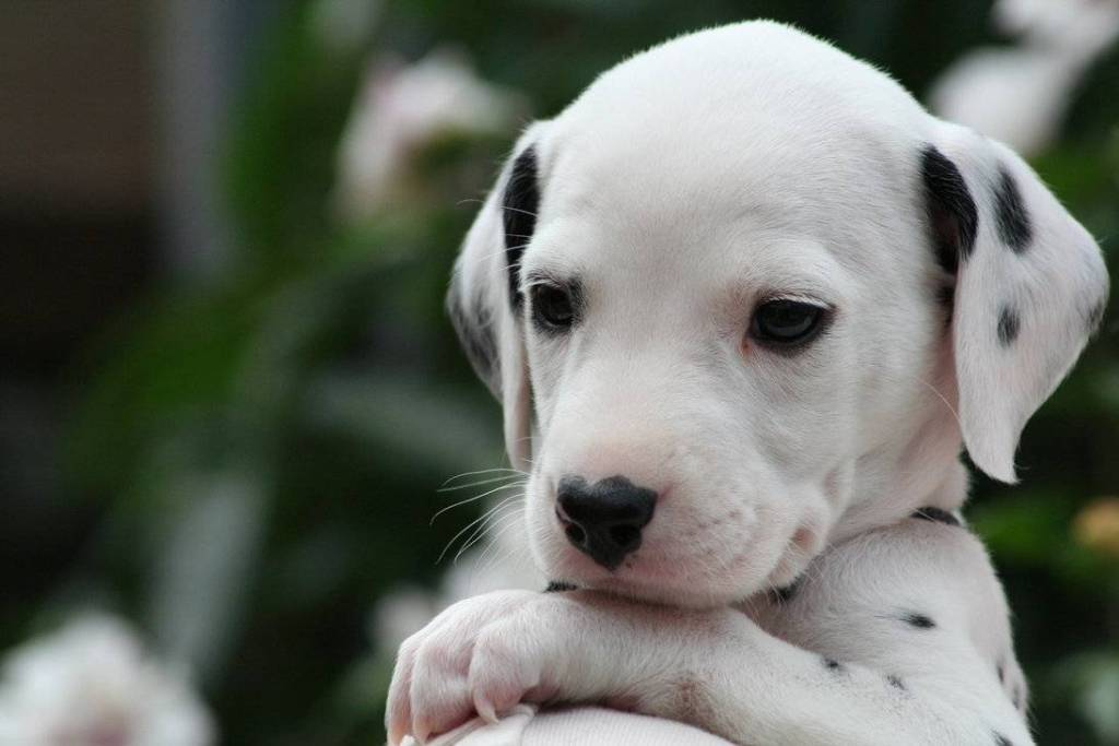 10-Uses-for-the-Dalmatian-Dog-What-Are-They-121 10 Uses for the Dalmatian Dog, What Are They?