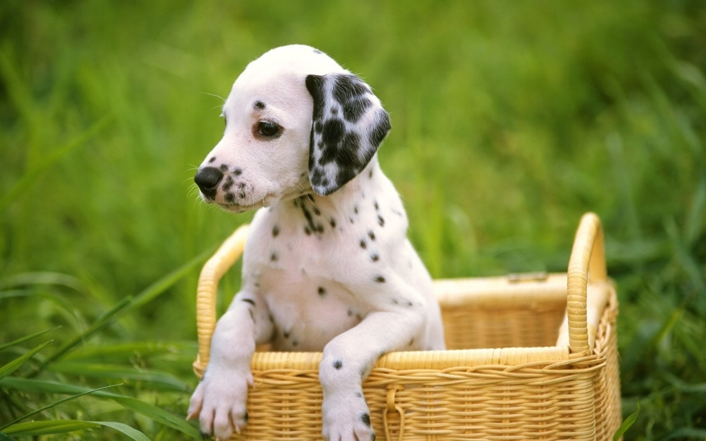 10-Uses-for-the-Dalmatian-Dog-What-Are-They-141 10 Uses for the Dalmatian Dog, What Are They?
