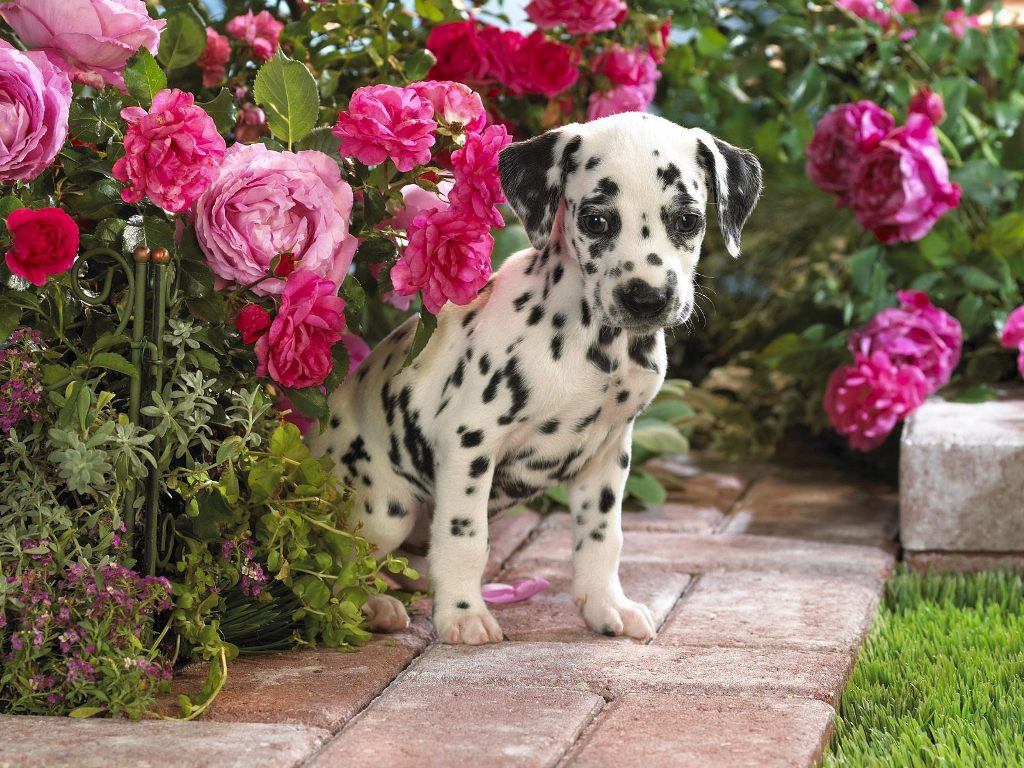 10-Uses-for-the-Dalmatian-Dog-What-Are-They-151 10 Uses for the Dalmatian Dog, What Are They?