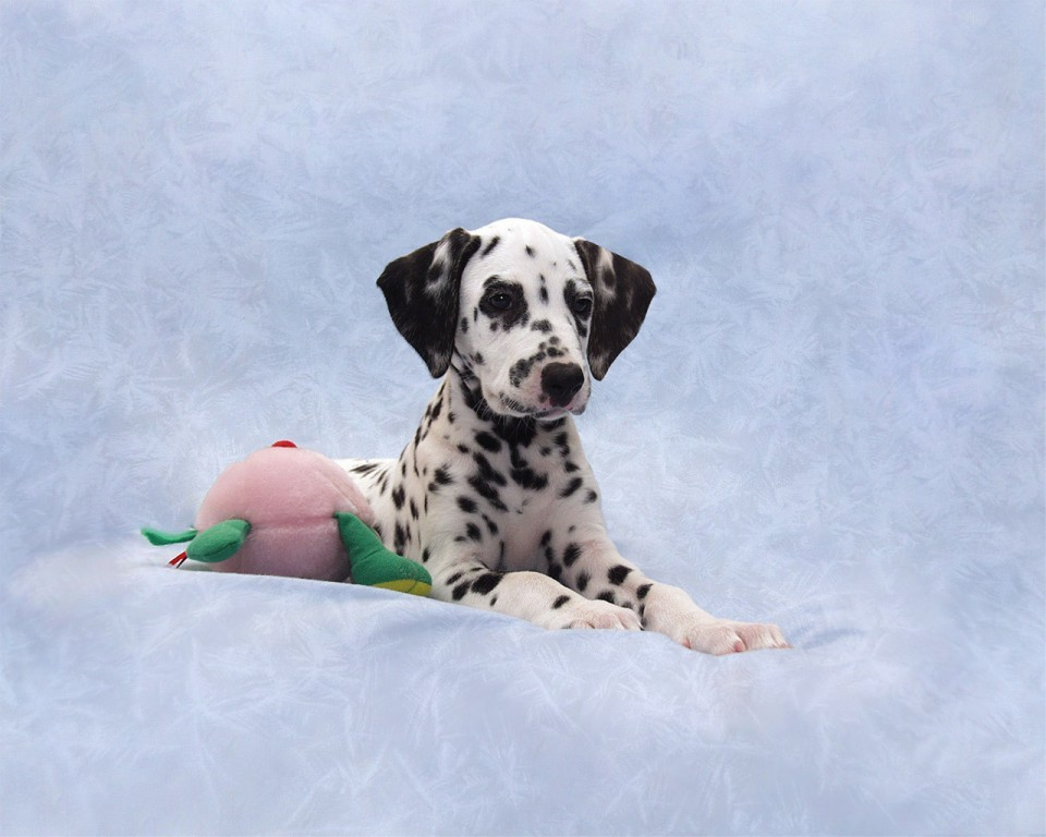 10-Uses-for-the-Dalmatian-Dog-What-Are-They-171 10 Uses for the Dalmatian Dog, What Are They?