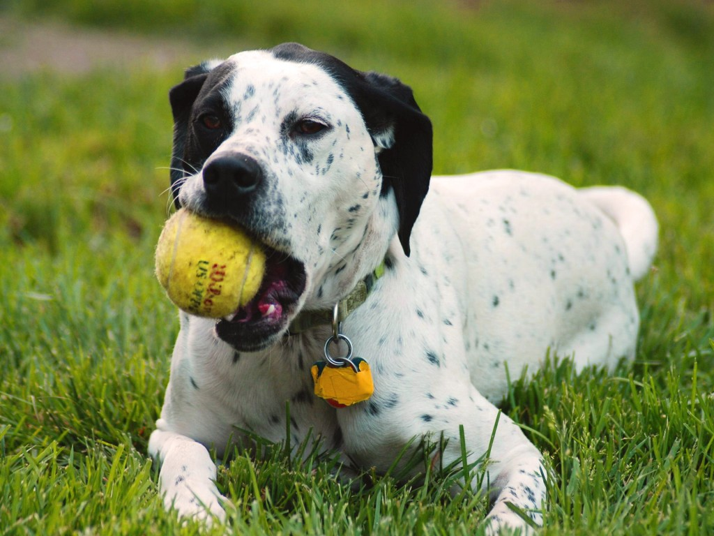 10-Uses-for-the-Dalmatian-Dog-What-Are-They-181 10 Uses for the Dalmatian Dog, What Are They?