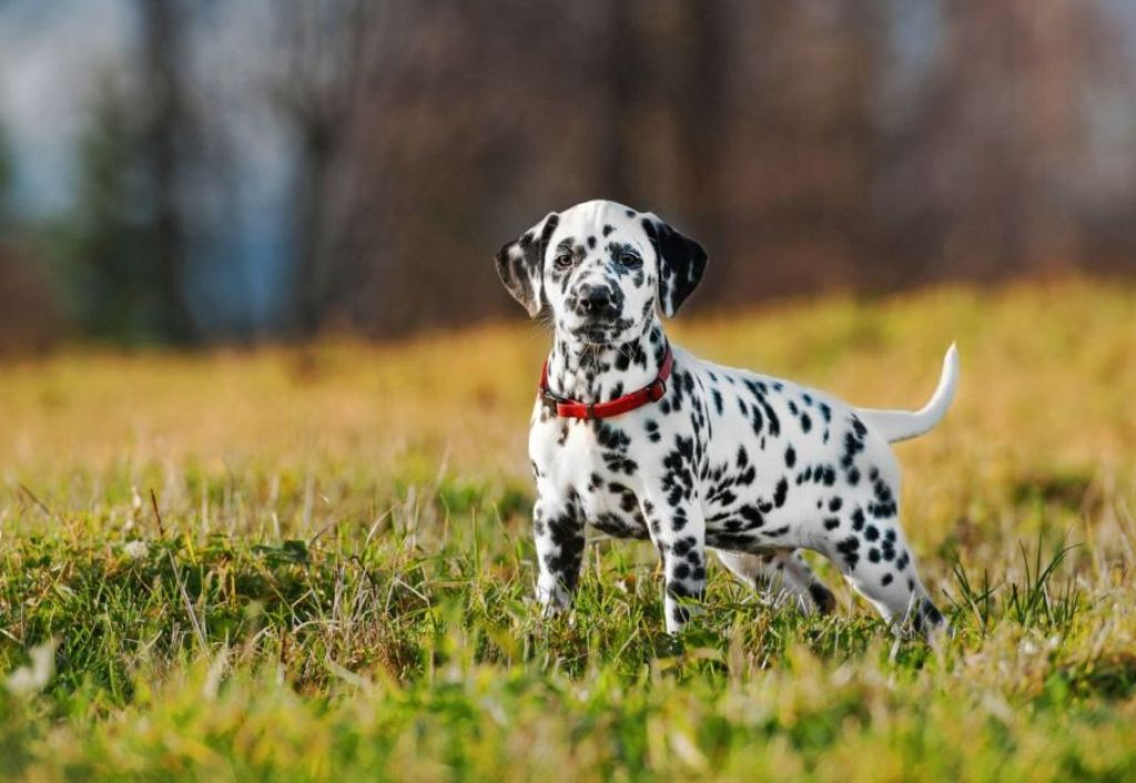 10-Uses-for-the-Dalmatian-Dog-What-Are-They-191 10 Uses for the Dalmatian Dog, What Are They?