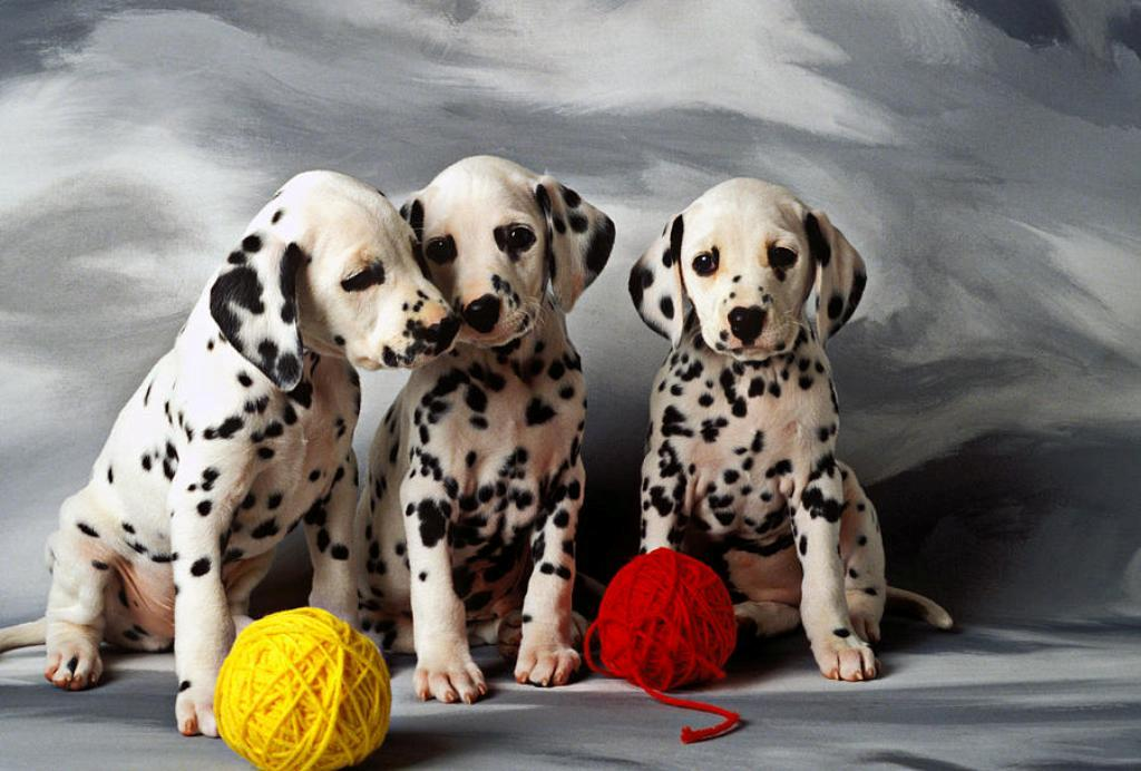 10-Uses-for-the-Dalmatian-Dog-What-Are-They-201 10 Uses for the Dalmatian Dog, What Are They?