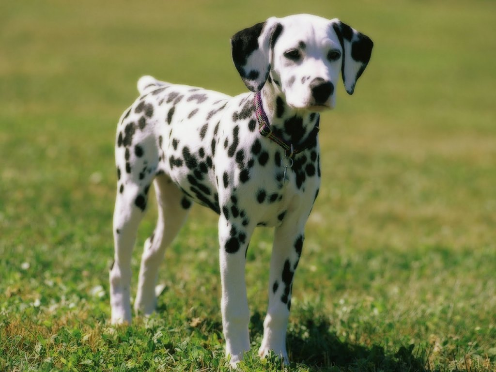 10-Uses-for-the-Dalmatian-Dog-What-Are-They-221 10 Uses for the Dalmatian Dog, What Are They?