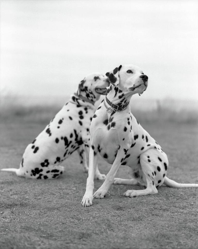10-Uses-for-the-Dalmatian-Dog-What-Are-They-231 10 Uses for the Dalmatian Dog, What Are They?