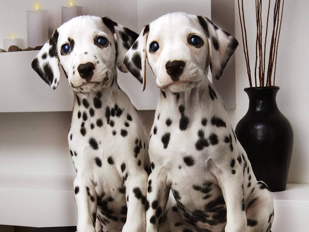 10-Uses-for-the-Dalmatian-Dog-What-Are-They-241 10 Uses for the Dalmatian Dog, What Are They?
