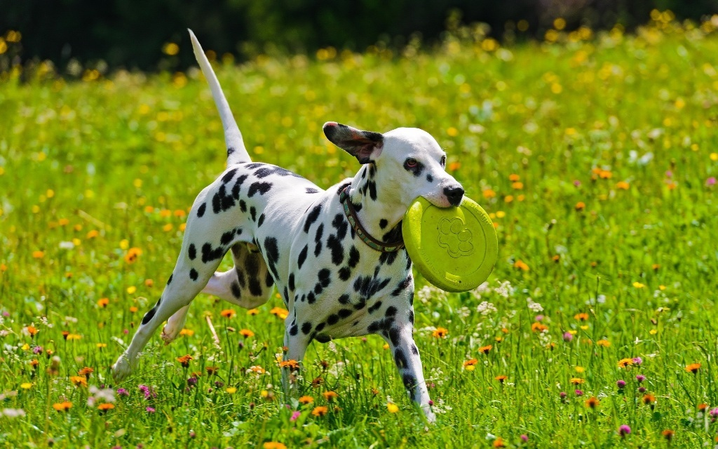 10-Uses-for-the-Dalmatian-Dog-What-Are-They-251 10 Uses for the Dalmatian Dog, What Are They?