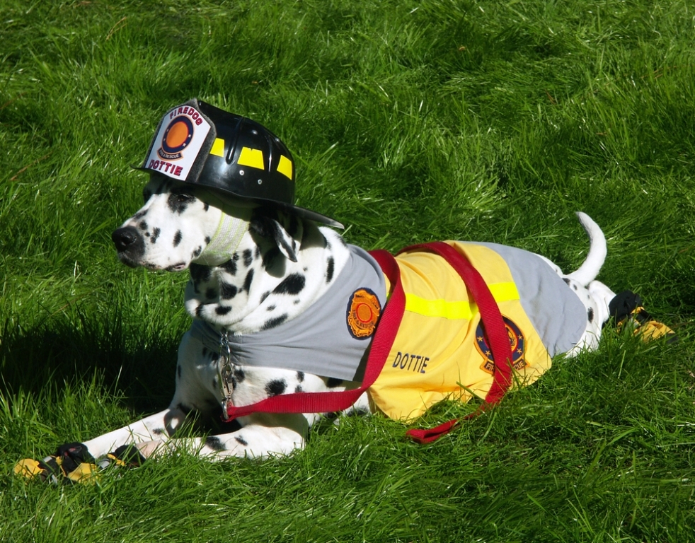 10-Uses-for-the-Dalmatian-Dog-What-Are-They-261 10 Uses for the Dalmatian Dog, What Are They?