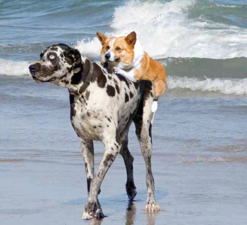 10-Uses-for-the-Dalmatian-Dog-What-Are-They-271 10 Uses for the Dalmatian Dog, What Are They?