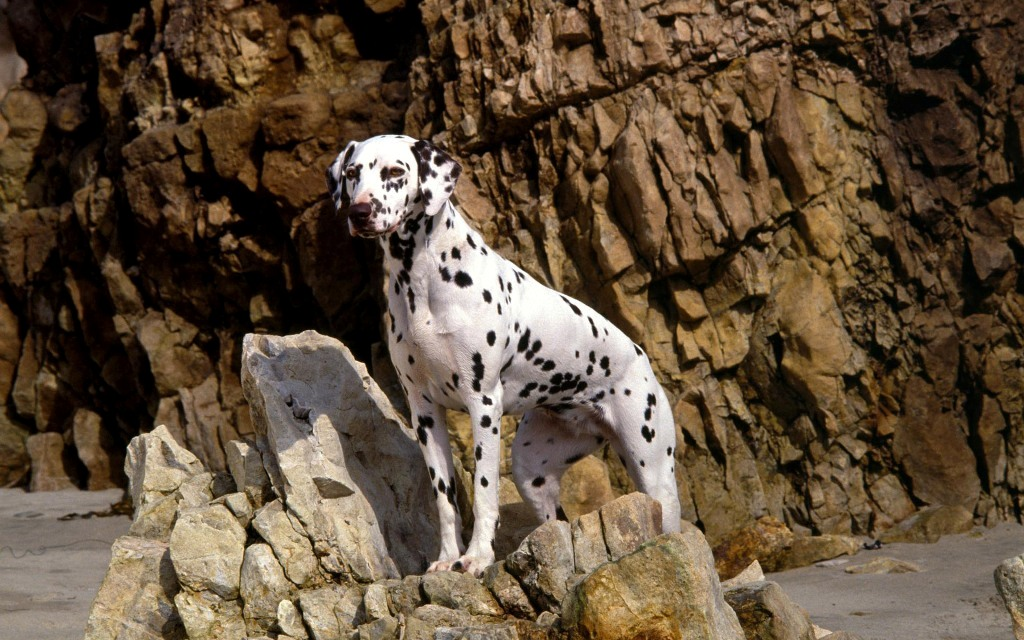 10-Uses-for-the-Dalmatian-Dog-What-Are-They-28 10 Uses for the Dalmatian Dog, What Are They?
