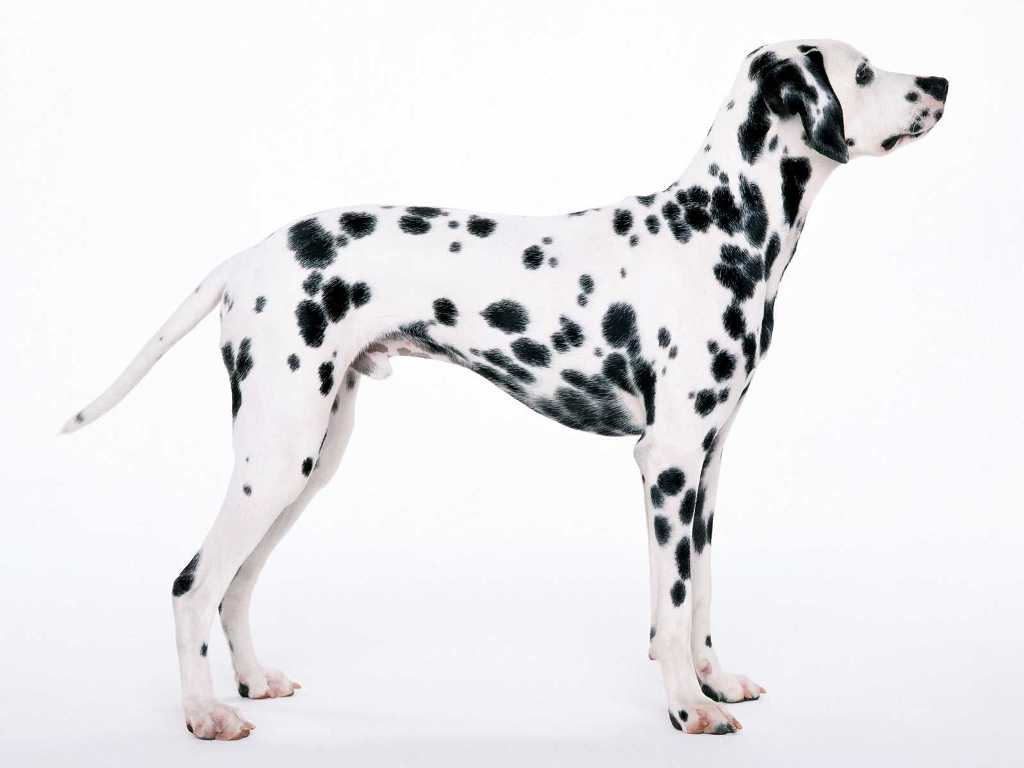 10-Uses-for-the-Dalmatian-Dog-What-Are-They-31 10 Uses for the Dalmatian Dog, What Are They?