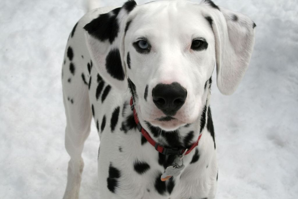 10-Uses-for-the-Dalmatian-Dog-What-Are-They-41 10 Uses for the Dalmatian Dog, What Are They?