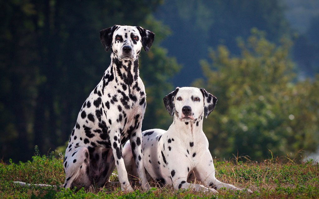 10-Uses-for-the-Dalmatian-Dog-What-Are-They-51 10 Uses for the Dalmatian Dog, What Are They?