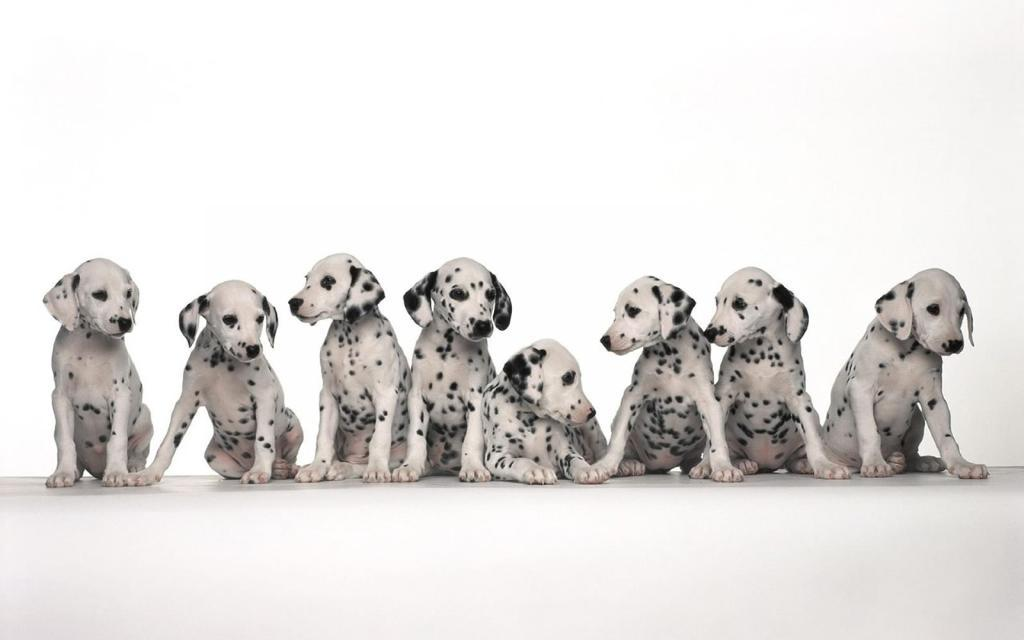 10-Uses-for-the-Dalmatian-Dog-What-Are-They-61 10 Uses for the Dalmatian Dog, What Are They?