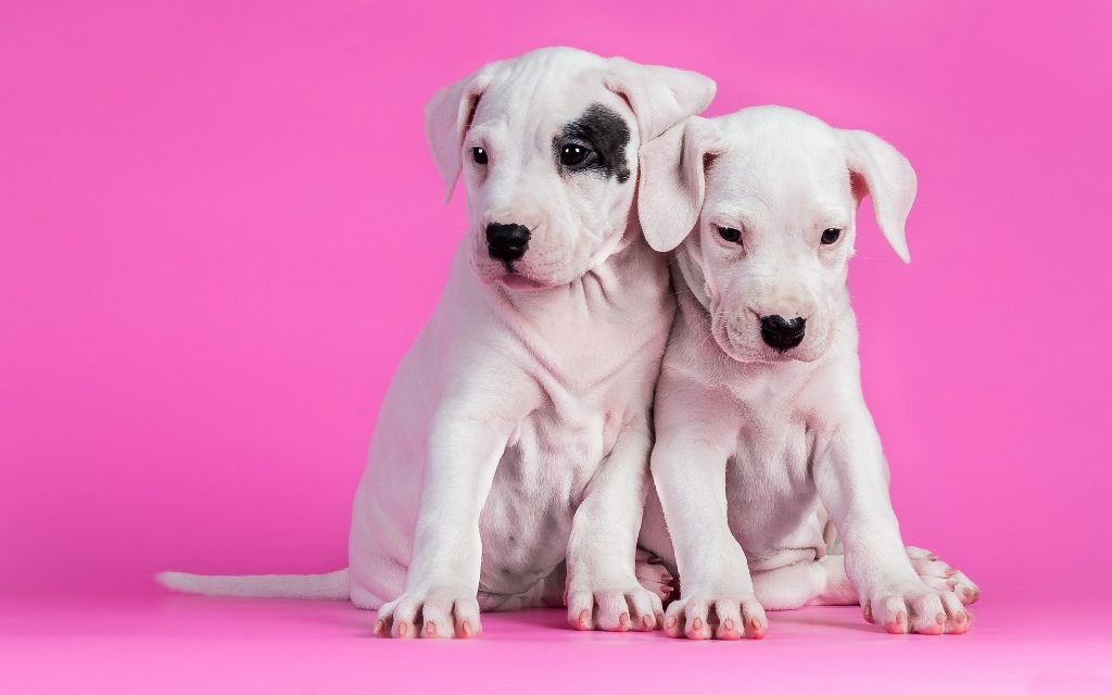 10-Uses-for-the-Dalmatian-Dog-What-Are-They-71 10 Uses for the Dalmatian Dog, What Are They?