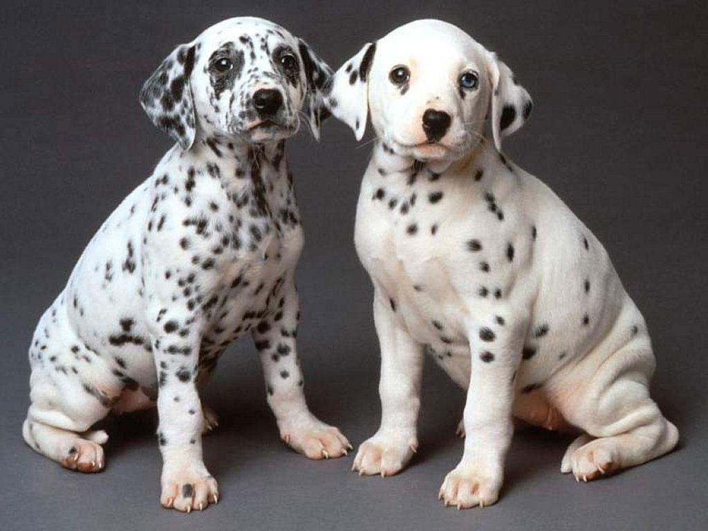 10-Uses-for-the-Dalmatian-Dog-What-Are-They-81 10 Uses for the Dalmatian Dog, What Are They?
