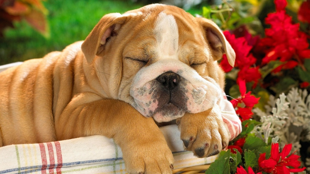 5-Interesting-Facts-Revealing-What-Your-Dog-Dreams-About-5 5 Interesting & Weird Facts Revealing What Your Dog Dreams About