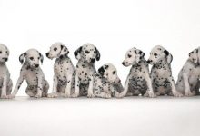 Photo of 10 Uses for the Dalmatian Dog, What Are They?
