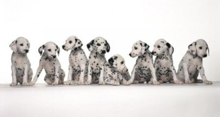 Copy of 10 Uses for the Dalmatian Dog, What Are They (6)