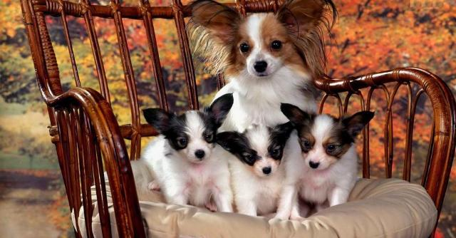 "Photo of Papillon Dog Breed ""Cutest & Smartest Gift for Everyone"""