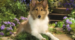 Copy of Why Is Collie Dog a Perfect Watchdog (20)