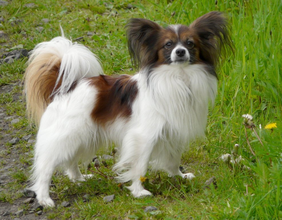 """Papillon-Dog-""""The-Cutest-Smartest-Toy-for-Everyone""""-1 Papillon Dog Breed """"Cutest & Smartest Gift for Everyone"""""""