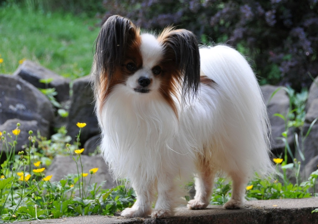 "Papillon-Dog-""The-Cutest-Smartest-Toy-for-Everyone""-10 Papillon Dog Breed ""Cutest & Smartest Gift for Everyone"""