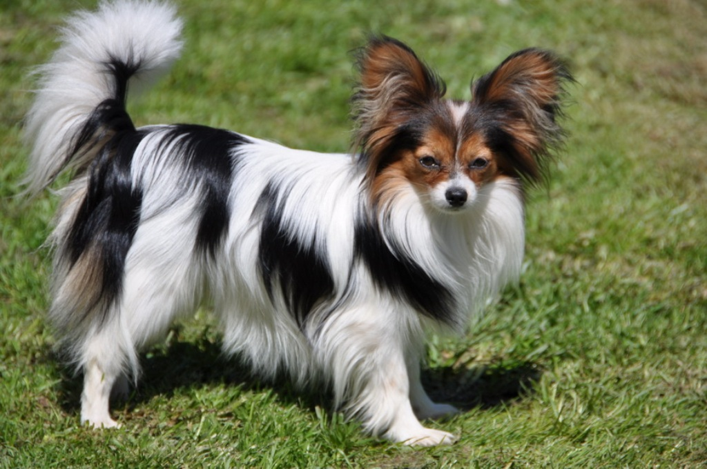 """Papillon-Dog-""""The-Cutest-Smartest-Toy-for-Everyone""""-12 Papillon Dog Breed """"Cutest & Smartest Gift for Everyone"""""""