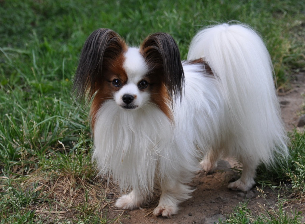 "Papillon-Dog-""The-Cutest-Smartest-Toy-for-Everyone""-13 Papillon Dog Breed ""Cutest & Smartest Gift for Everyone"""