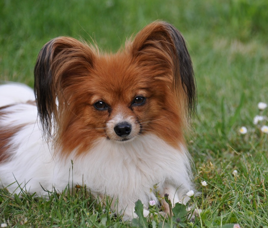 """Papillon-Dog-""""The-Cutest-Smartest-Toy-for-Everyone""""-14 Papillon Dog Breed """"Cutest & Smartest Gift for Everyone"""""""