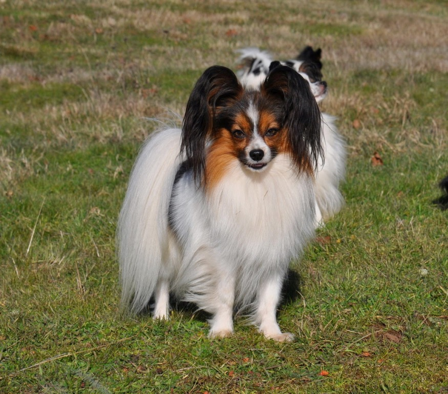 "Papillon-Dog-""The-Cutest-Smartest-Toy-for-Everyone""-15 Papillon Dog Breed ""Cutest & Smartest Gift for Everyone"""