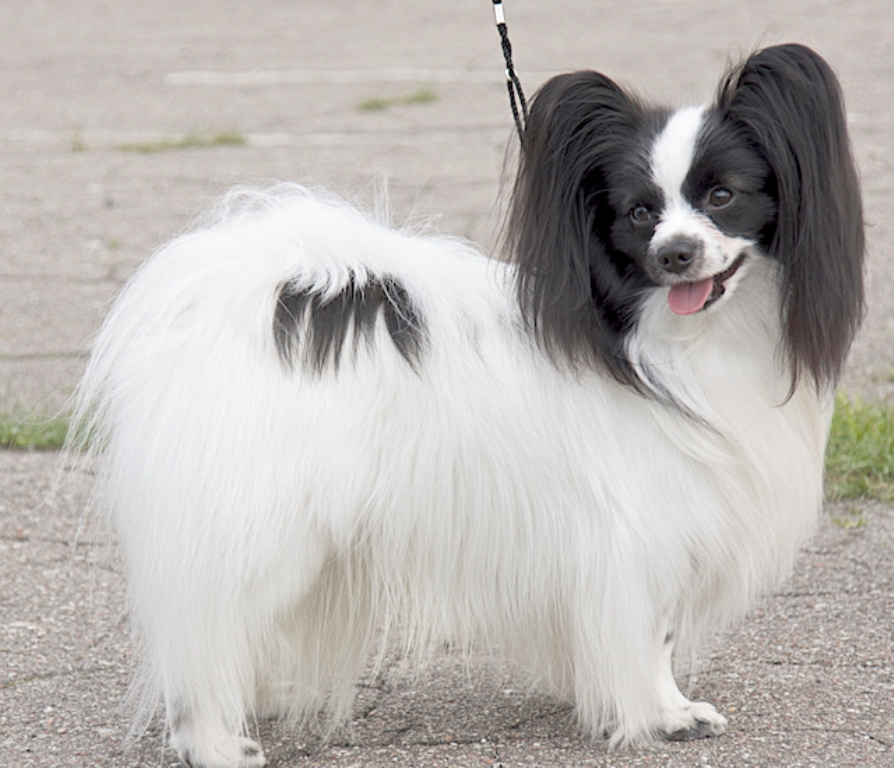 "Papillon-Dog-""The-Cutest-Smartest-Toy-for-Everyone""-16 Papillon Dog Breed ""Cutest & Smartest Gift for Everyone"""