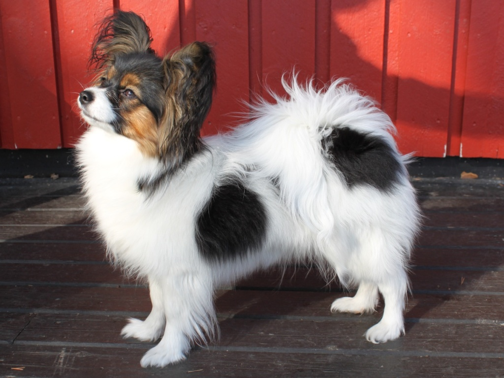 """Papillon-Dog-""""The-Cutest-Smartest-Toy-for-Everyone""""-17 Papillon Dog Breed """"Cutest & Smartest Gift for Everyone"""""""