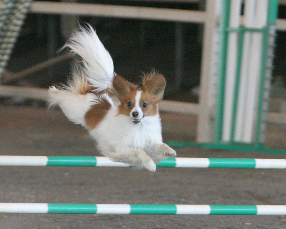 """Papillon-Dog-""""The-Cutest-Smartest-Toy-for-Everyone""""-18 Papillon Dog Breed """"Cutest & Smartest Gift for Everyone"""""""