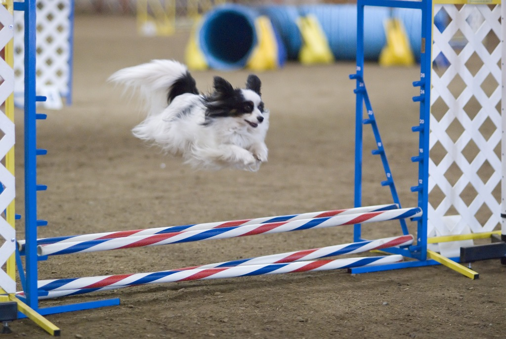 """Papillon-Dog-""""The-Cutest-Smartest-Toy-for-Everyone""""-19 Papillon Dog Breed """"Cutest & Smartest Gift for Everyone"""""""