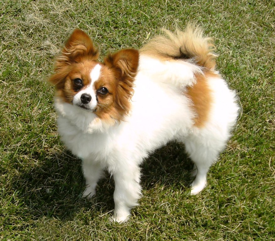 """Papillon-Dog-""""The-Cutest-Smartest-Toy-for-Everyone""""-2 Papillon Dog Breed """"Cutest & Smartest Gift for Everyone"""""""