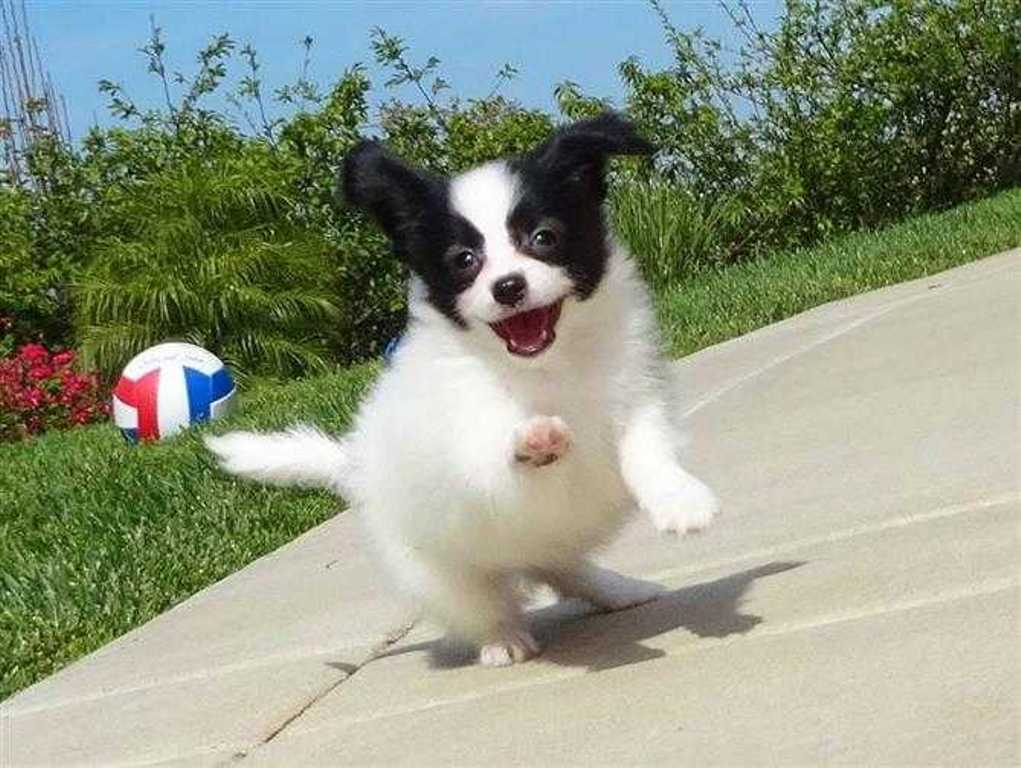 """Papillon-Dog-""""The-Cutest-Smartest-Toy-for-Everyone""""-20 Papillon Dog Breed """"Cutest & Smartest Gift for Everyone"""""""